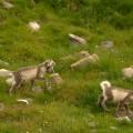 renardeaux-arctiques