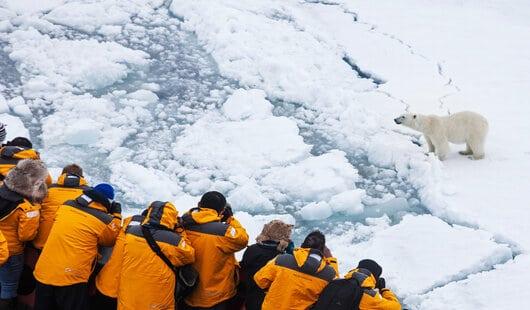 observation des ours polaires en arctique