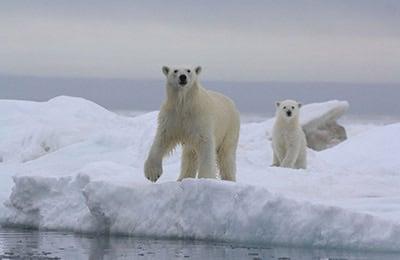 a la recherche de l'ours polaire